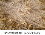 barley yield  ripe ears  top ... | Shutterstock . vector #673014199