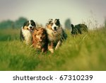 Stock photo group of australian shepherds running through the meadow picture made in vintage style 67310239