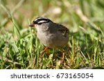 white crowned sparrow bird... | Shutterstock . vector #673165054