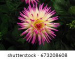 Small photo of Star Burst Dahlia