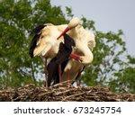 white stork  ciconia ciconia    ...   Shutterstock . vector #673245754