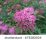 Small pink flowers on bush in the garden - stock photo