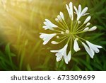 Agapanthus Queen Mum Flower ...