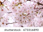 beautiful cherry blossoms in... | Shutterstock . vector #673316890