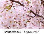 beautiful cherry blossoms in... | Shutterstock . vector #673316914