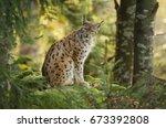 eurasian lynx  lynx lynx  big... | Shutterstock . vector #673392808