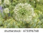 flower decorative onion closeup