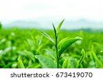 Green Tea Bud And Fresh Leaves...