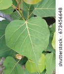 Leaves Of Bodhi Tree  Small An...