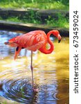 Small photo of American Flamingo bird staying outdoors in the water on one leg at sunny weather