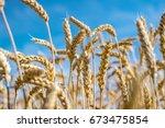 Rye field. ripe grain spikelets....
