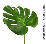monstera deliciosa leaf or...   Shutterstock . vector #673516588