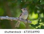 little sparrow   Shutterstock . vector #673516990