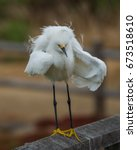 Small photo of A Snowy Egret ruffling its feathers in one drab morning