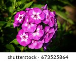 Garden Phlox  Phlox Paniculata...