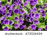vibrant petunias with white... | Shutterstock . vector #673526434