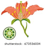 flower parts diagram with stem... | Shutterstock .eps vector #673536034