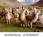 llamas and alpacas of peru | Shutterstock . vector #673560619