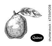 fresh quince. hand drawn sketch ... | Shutterstock .eps vector #673569208