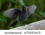 Stellers Jay - juvenile  - stock photo