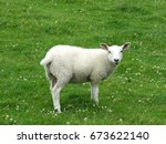 Spring Lamb Standing In A Fiel...