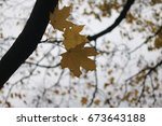 The Last Yellow Leaves On The...