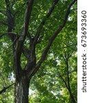 carpinus tschonoskii  that... | Shutterstock . vector #673693360