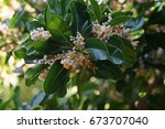 Small photo of Alexandrian laurel balltree or laurelwood,an evergreen tree with fragrant flower