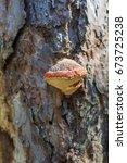 Shelf Mushroom Fomitopsis...