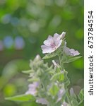 Small photo of Marsh Mallow Althaea officinalis. Pink mallow flower in garden