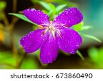 Violet Flower With Rain Drops...