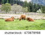 Highland Cattle Dwelling In Th...
