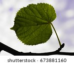 close up of a young leaf of a