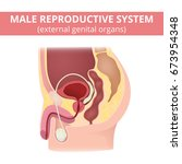 male reproductive system.... | Shutterstock .eps vector #673954348