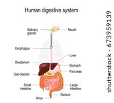 human digestive system.... | Shutterstock .eps vector #673959139