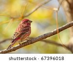 Male House Finch  Carpodacus...