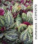 close up of calathea roseopicta ... | Shutterstock . vector #673992970