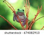 Dumpy Frog  Tree Frog