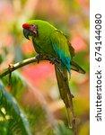 Great Green Macaw  Ara Ambigua...