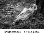 Deer Skull Found In The Woods
