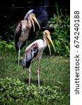 Small photo of Lesser adjutant stork