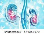 human kidney cross section on... | Shutterstock . vector #674366170