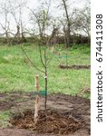 Small photo of Fruit tree seedling planted in the ground and covered mulch of compost, step by step guide