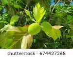 breadfruit tree with fruits and ... | Shutterstock . vector #674427268