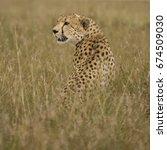Small photo of Cheetah (Acinonyx jubatus), in the Masai Mara,Kenya, africa
