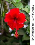 Red Hibiscus Flower In Full...
