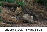 Lion Resting In Riverbed  Sout...