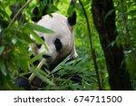 Panda Eating Bamboo In Chengdu...