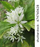 Small photo of wild or bears garlic, Allium ursinum