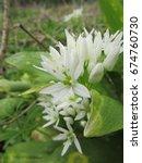 Small photo of wild or bears garlic, Allium ursinum